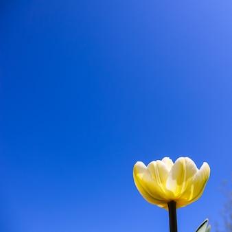 푸른 하늘을 배경으로 봄에 아름다운 노란 튤립