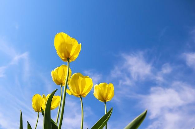 雲の花の背景と青い空を背景に春の美しい黄色のチューリップ