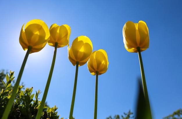 青い空を背景に春の美しい黄色いチューリップ