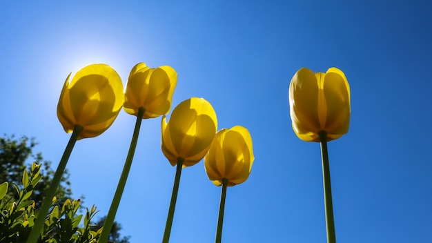 Beautiful yellow tulips in spring against blue sky