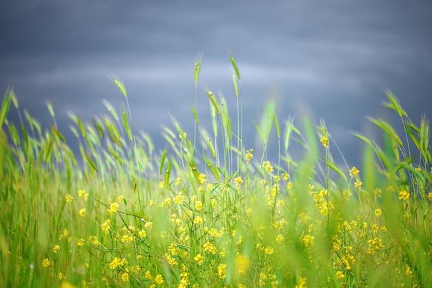 Beautiful yellow wildflowers in the green grass.