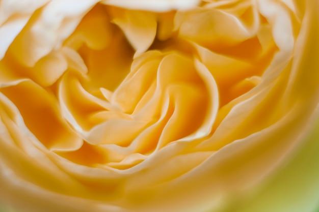 Beautiful yellowe rose close up in the garden