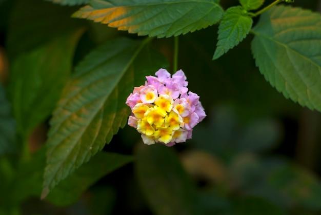 Красивое желто-розовое соцветие тропического цветка lantana camara