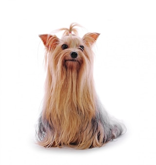 Beautiful yorkie on white wall