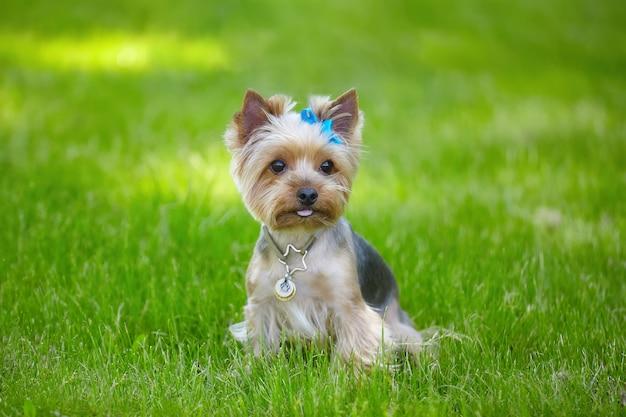 緑の芝生の上の美しいヨークシャーテリア犬。