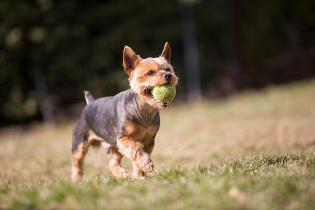 Красивый йоркширский терьер играет с мячом на траве