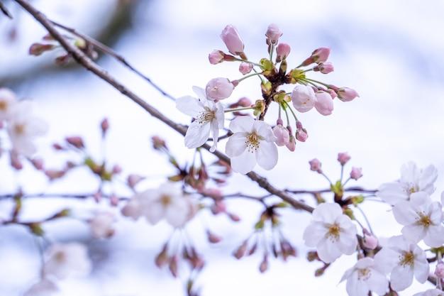 Красивые вишни ёсино цветут сакуры весной.
