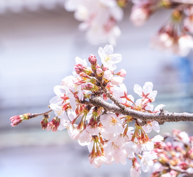 Beautiful yoshino cherry blossoms sakura bloom in spring.
