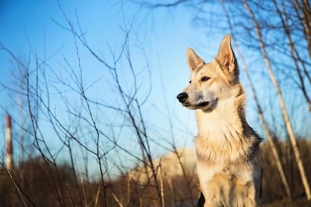Красивая молодая и счастливая смешанная порода хаски на прогулке