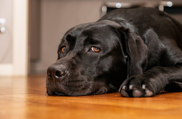 Beautiful young black labrador retriever resting on the wooden floor