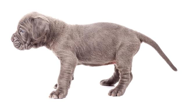 白い背景の上の美しい若い黒い子犬イタリアンマスティフ杖コルソ(1ヶ月)。側面図