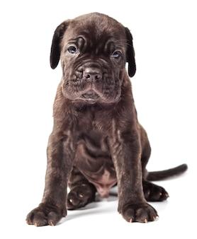 白い背景の上の美しい若い黒い子犬イタリアのマスチフ杖コルソ(1ヶ月)