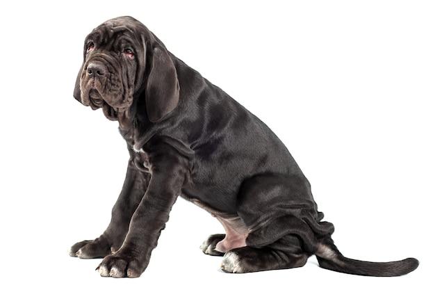 白い背景の上の美しい若い黒い子犬イタリアのマスチフ杖コルソ(3ヶ月)