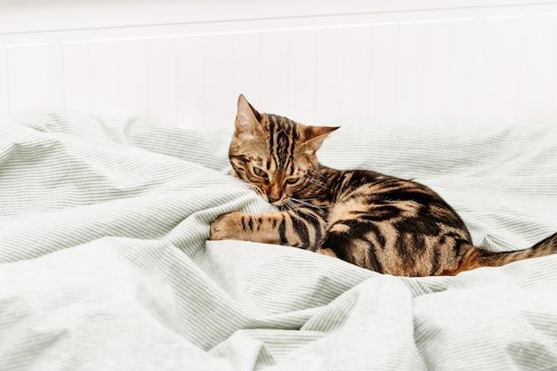 집에서 침대에 아름 다운 젊은 고양이. 침실에 줄무늬 고양이