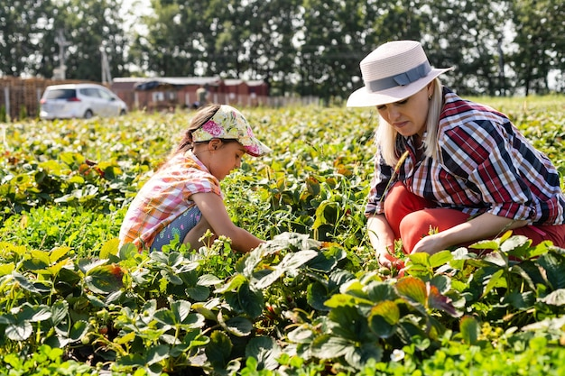 Beautiful young caucasian mother with her daughter pick strawberries in the field