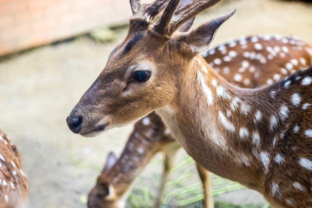 美しい若いアクシスジカまたは斑点のある鹿の詳細
