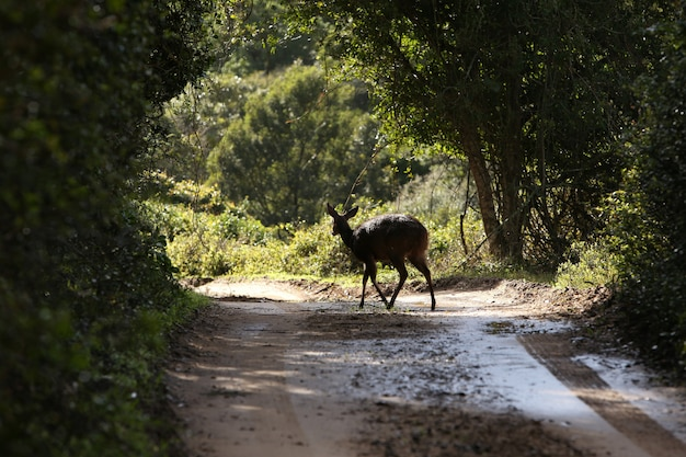 Красивый молодой олень, идущий по грязной тропе в окружении деревьев