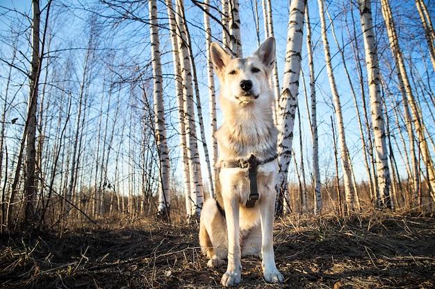 日没の森の中を歩く美しい若い犬。レンズフレア
