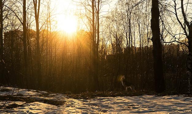 Красивая молодая собака на прогулке в лесу на закате. отблеск от линз