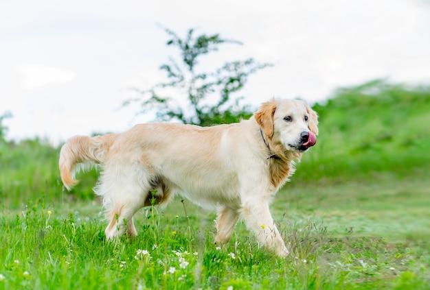 봄에 자연 속에서 걷는 아름 다운 젊은 개