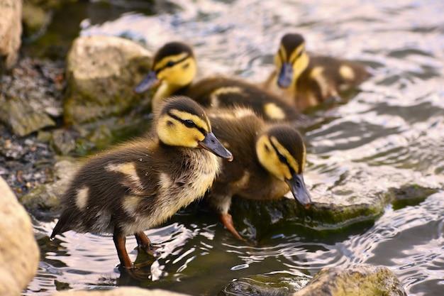 Красивая молодая утка на поверхности пруда. дикая природа в солнечный летний день. молодая водяная птица.