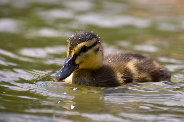 Beautiful young duck on the surface of a pond. wildlife on a sunny summer day. young water bird.
