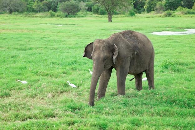 自然の中を歩く美しい若い象