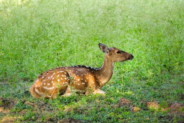 Красивая молодая самка читал или пятнистый олень в национальном парке рантхамбор, раджастхан, индия