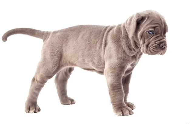 白い背景の上の美しい若い灰色の子犬イタリアのマスチフの杖コルソ(1ヶ月)