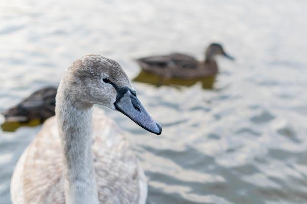Красивый молодой серый лебедь плавает в пруду