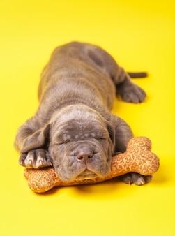 黄色の背景のおもちゃの骨で眠っている美しい若い灰色の子犬イタリアンマスティフ杖コルソ(1ヶ月)