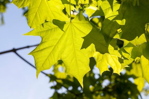 春の美しい若いカエデの葉