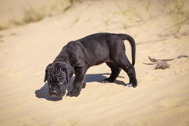 美しい若い子犬のイタリアのマスチフ杖コルソ(1ヶ月)は砂の上を動き、周りを嗅ぎます。