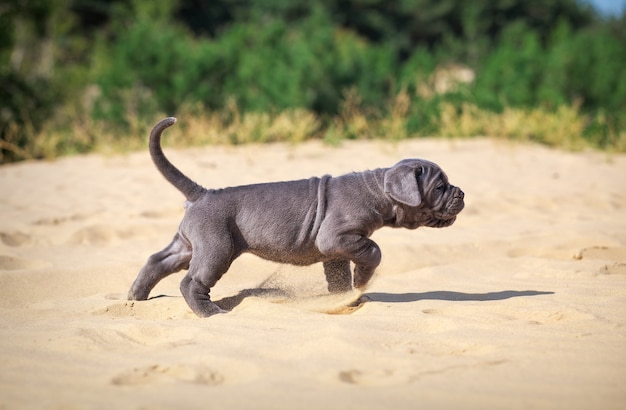 美しい若い子犬のイタリアのマスチフ杖コルソ(1ヶ月)は砂の上を移動します。側面図