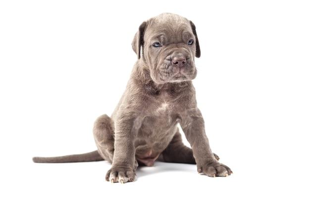 白い背景の上の美しい若い子犬イタリアのマスチフの杖コルソ(1ヶ月)