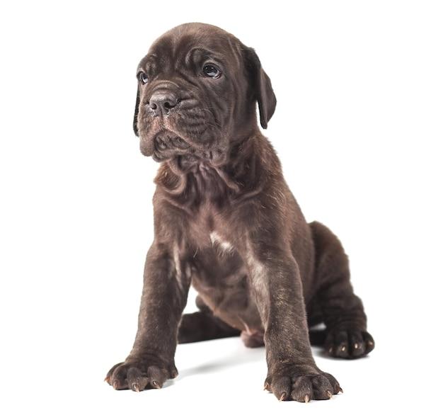 白い背景の上の美しい若い子犬イタリアのマスチフ杖コルソ