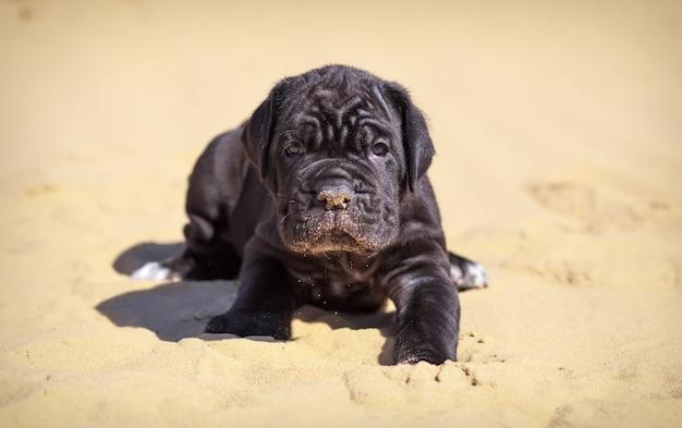 美しい若い子犬イタリアのマスチフ杖コルソは晴れた日に砂の上に座っています。