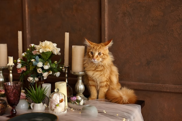 A beautiful young red maine coon cat sits on a festively served table
