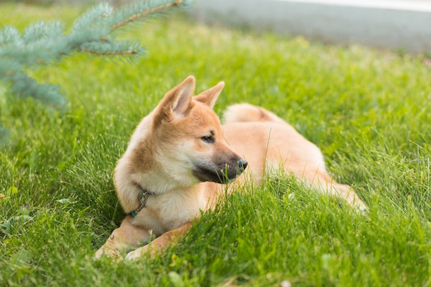 屋外で遊ぶ美しい若い赤い柴犬子犬犬