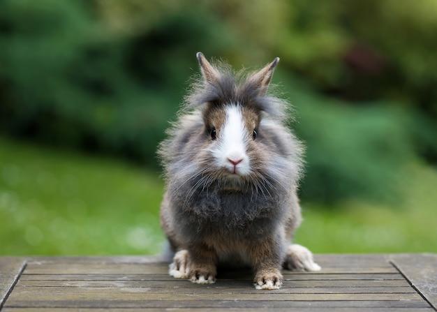 Красивый молодой маленький серый кролик львиная голова в саду