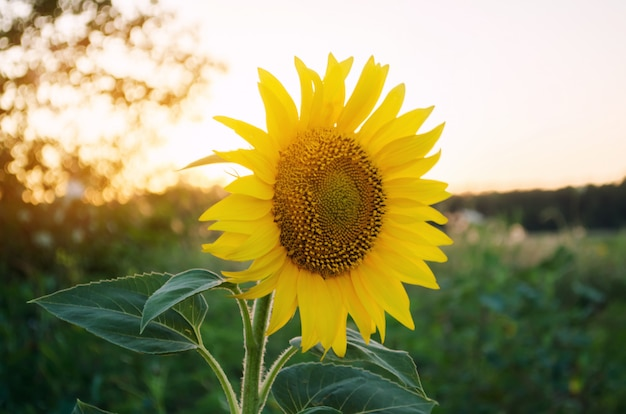 Beautiful young sunflower grow in a field