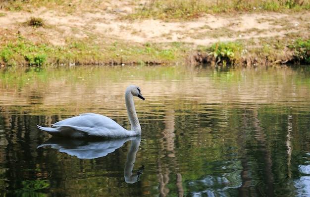 호수에서 아름 다운 젊은 백조