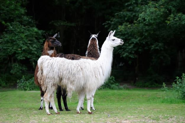 自然の中で美しい若い3つのアルパカ
