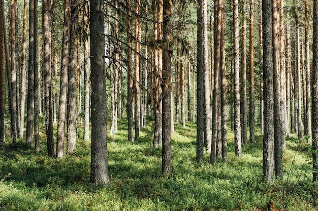 美しいñオニフェラスの森の木。自然緑の木の背景