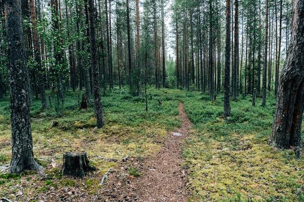 Красивые oniferous лесные деревья природа деревянные фоны