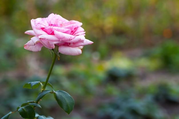 美しい赤と白のバラの花
