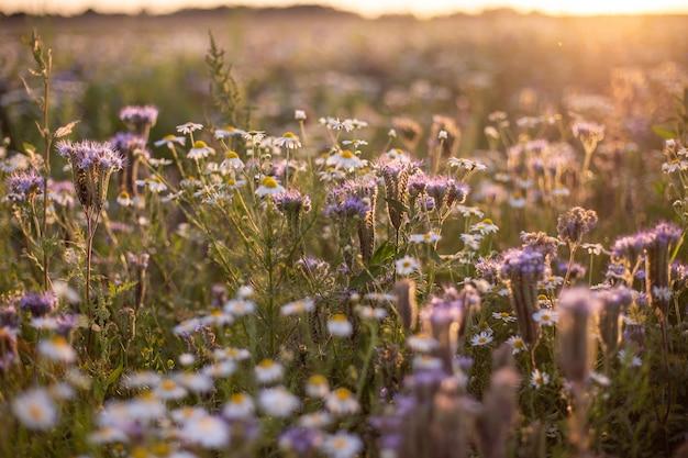 野原の太陽光線の下でキラリと光る美しく開花したデイジー