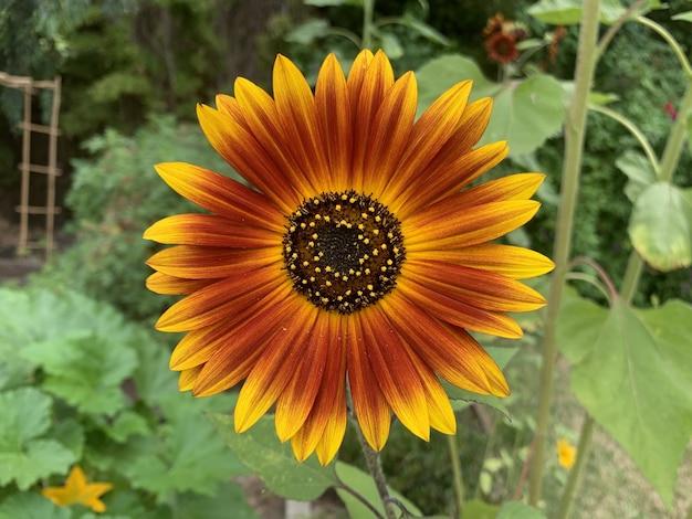 아름답게 꽃이 만발한 오렌지 어스 워커 해바라기
