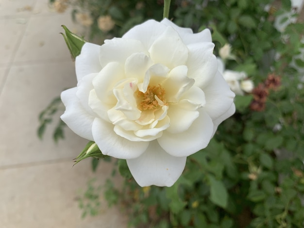 Beautifully blossomed white rose in the garden