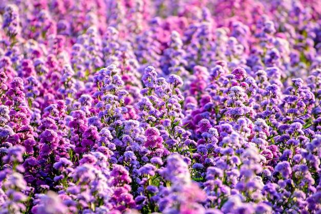 Красиво распускаются цветы маргариты и свежее в полевых пейзажах посреди природы.